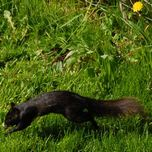 black squirrel hop